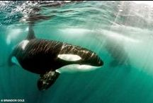 Orca Lovin' / Killer whales. Orcas. Save Tilikum. No more Sea World