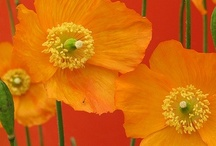 poppies. nothing but  poppies / by Gretchen Knapp