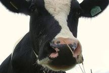 Cows and barnyards