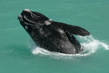 Whales / Every year from June - December the southern right whales visit Hermanus, known as the best land based whale watching in the world