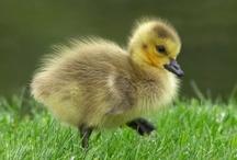 duck, duck - Goose :) / by Nannette Serrano