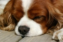 Cavalier King Charles Spaniel / * Best Dogs EVER -!!!- -( in my humble opinion )- / by Nannette Serrano