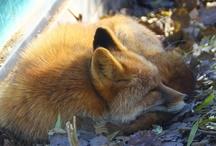 .foxy,foxy. / by Nannette Serrano