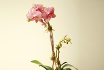 Orchids / Our beautiful premium orchids