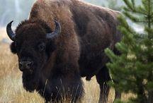 Buffalo  Stampede / by Nancy Colcord