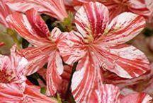 Amazing Azalea / by Lawncare Plus Design~Landscaping Hardscaping Patios Gardening