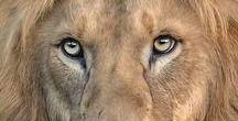 FELINES (Αιλουροειδή) / Tigers. Lions. Jaguars. Leopards,  gifs, etc