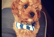 Chester / My puppy Chester. He's a 1st generation red toy cavoodle / cavapoo and also the cutest thing in the whole world ^-^