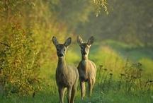 Animals - Deer, Caribou, Elk, Moose / by Erin Jackson