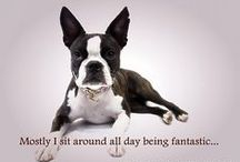 Boston Love / Two Bostons Pet Boutique loves Boston Terriers, (that may be given away by the name of the store!) so we want to share our love with you...