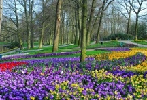 Keukenhof / Tulips from Holland are world famous. If you want to see the Dutch tulip fields in bloom, you should visit Holland in April and May. This is the same period in which the biggest flower park in the world, Keukenhof, opens its doors. Learn all about the Dutch bulb fields and Keukenhof here: http://www.holland.com/us/tourism/regions/flower-fields.htm
