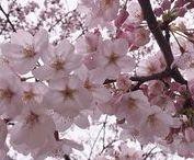 A Colour Story | Sakura
