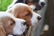 Beagles / Royal Canin BEAGLE ADULT is designed exclusively for pure breed Beagles over 12 months old.