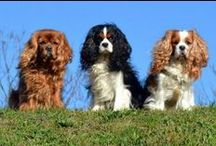 Cavalier King Charles Spaniel / Everything Cavalier King Charles Spaniels, Cavaliers, CKCS,  pictures of Cavaliers , Cavalier King Charles Spaniel Puppies, Cavaliers in Art, Spoiled Cavaliers, gifts for Cavalier lovers. / by Felissa Elfenbein (TwoLittleCavaliers)