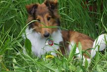 Shelties / by Angelique Duseigne