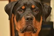 Pictures of Dogs / Dogs, dogs, and more dogs. Pictures of Dogs! See Images of Different dog breeds as puppies and adults / by Felissa Elfenbein (TwoLittleCavaliers)