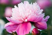 Flower Gardening / Flowering plants, gardening ideas and tips...