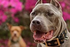 Fashion Blog Pitbull Rescue