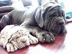Mastiff Italian Mastiff For Sale Honey Bangalore India   Dog Breeds ...