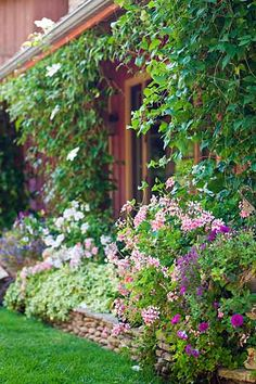Trailing ivy geranium and clematis, planted en masse, give this relatively new garden the feeling that it's been cultivated over many years.