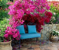 The climbing varieties of bougainvillea are suitable for the pergolas. This plant loves the sunny position and does not like wet feet. Among the most frequently cultivated colors are pink, red, yellow and purple but it comes in many other colors too.
