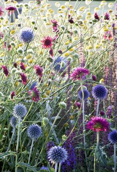 Getting ready for next year's Garden ? Reserve  a sunny spot on the border for this airy, light mix. of steel ball blue thistle (Echinops ritro 'Veitch's Blue'). Towering gently over your other wildflowers swaying like a meadow crown in red purple. Thistle is very suitable to plant between other plants to grow and adds other color pop often found in the places wildflowers grown naturally