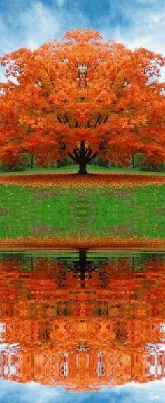 Sugar maple in fall colors