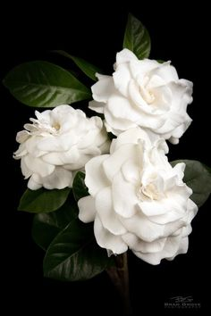 gardenia - my mother's favorite