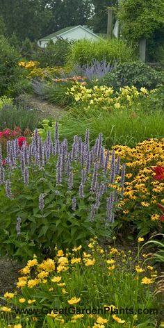 Tall stately spikes of Agastache Blue Fortune pair well with Black Eyed Susan in this garden setting