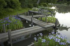 Japanese Garden, Plants in Bloom, Flowers, Iris, ZigZag Bridge      superb!