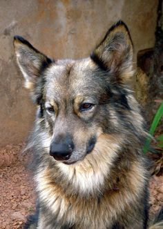 hybrid wolf | Wolf Hybrid Information and Pictures, Wolf Hybrid
