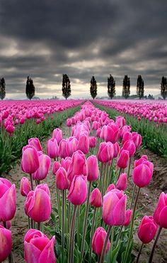 Tulip fields, Skagit Valley, Washington.
