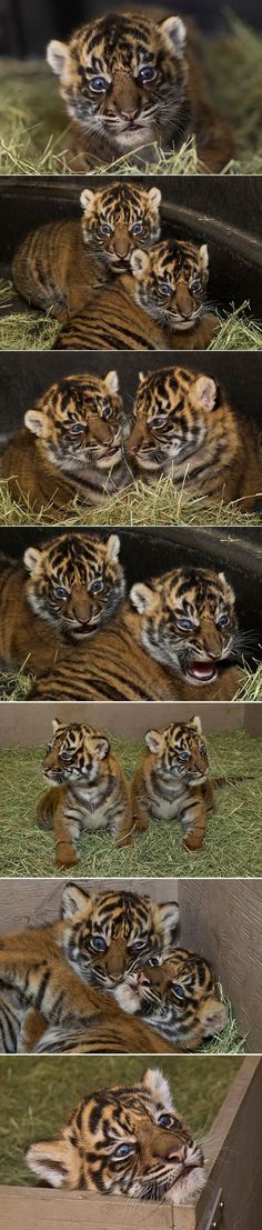 All the colors of the... Tiger? | Tigers, The Tiger and Maltese