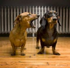 in one ear and out the other!  Such cute dachsunds!
