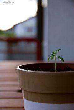 cute baby tomato plant