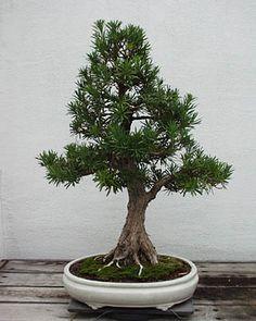 Indoor Bonsai Species