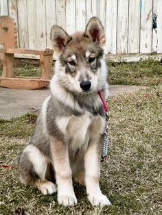 Malamute / Timber Wolf hybrid. I know hes cute as a button now, but wolf hybrids are EXTREMELY dangerous. They ARE wild animals and WILL bite humans. Please, do not take in a wolf/dog hybrid unless you know EXACTLY what you are doing.