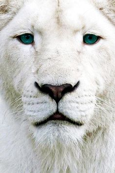 Lion With Turquoise Eyes
