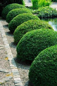 Garden path bordered by shaped boxwood
