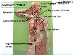 Manual lymphatic drainage 29 - 1 7