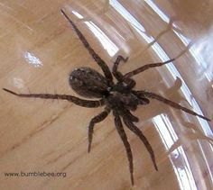 Keep this in mind if you start seeing lots of spiders around your place.   Natural spider killer or preventer...take one cup of vingar, one cup of pepper powder, a teaspoon of oil and liquid soap.  put it into a spray bottle and spay along the outside of your door(outside door) and along windows  refresh after it rains.