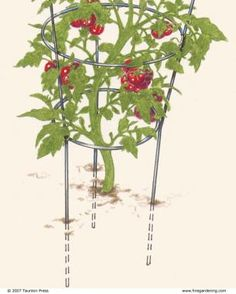 The Supporting Cast for Tomatoes | Fine Gardening Magazine