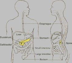 Shutterstock Vector 314129975 as well Amylase further Parts Of A Kidney Diagram also Human Organs Location In Body furthermore Digestive Tract Parts Of Digestive Tract. on digestive system pancreas