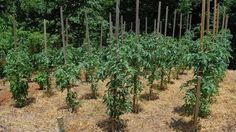 Should You Grow Determinate or Indeterminate Tomato Plants? Do you know the difference? Learn it here http://www.vegetablegardener.com/item/10460/should-you-grow-determinate-or-indeterminate-tomato-plants