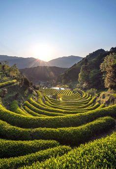 Green tea farms are a sight to behold across Japan. This one at Katsuura, Wakayama, Japan