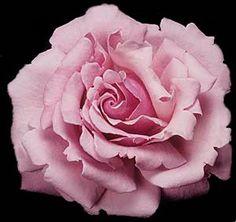 memorial day rose