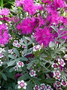 Dianthus x hybrida supra purple with dianthus deltoides arctic fire