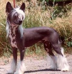 Chinese Crested Hairless. So bad ass. I adore the temperament. So sweet. Lounges like a ragdoll