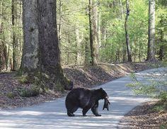 bear carrying cub in Cades Cove, TN