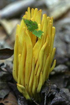 Yellow Coral Fungus